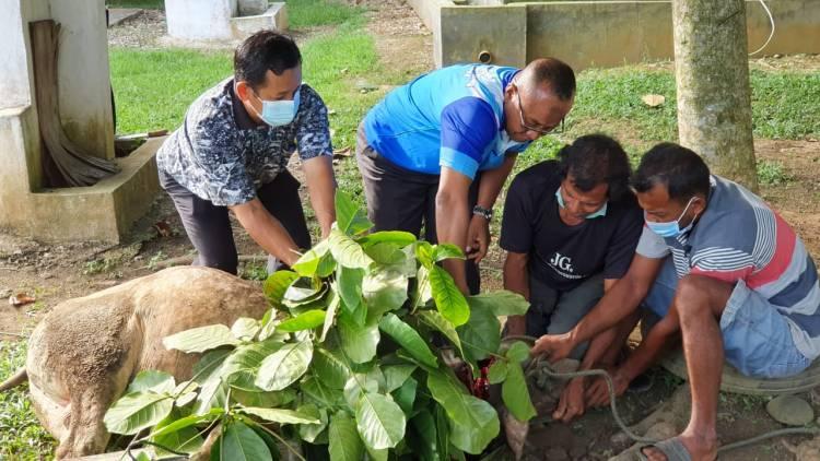 Tahun Ini, Kankemenag Dharmasraya Laksanakan Kurban 5 Ekor Sapi